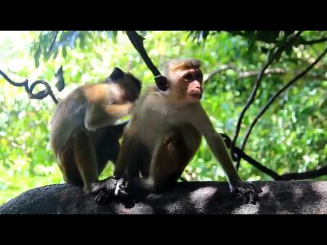 Toque macaque / Цейлонский макак / Macaca sinica