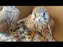 Сокол пустельга Реабилитация птиц Falcon of the Kestrel Rehabilitation of bir