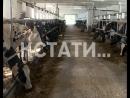 Диета для коров