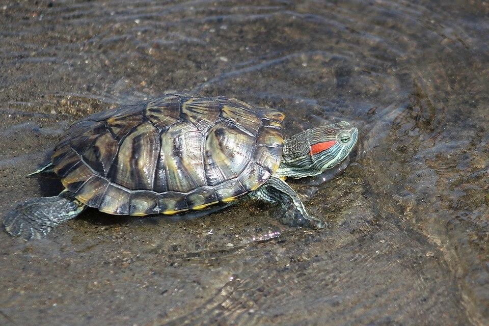 Красноухая черепаха желтобрюхая черепаха