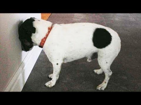 Немедленно отнесите свою кошку или собаку к ветеринару, если она прижимается головой к стене!