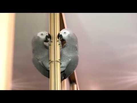 Попугай жако Петруня разговаривает со своим отражением и обзывает своих хозяев