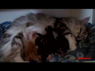 Maine Coon Cat gives birth to many meowing kittens- Cute Kittens nursing and pla