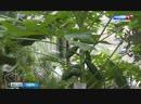 В Ботаническом саду Твери вырастили папайю