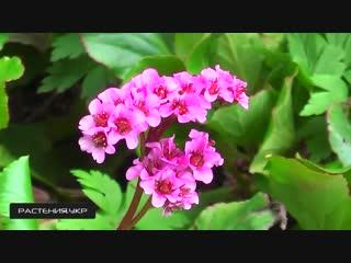 Бергения или Бадан многолетние цветы-Дачники