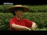 Краткий рассказ о сборе чая в Китае и чайной церемонии