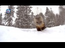 So cute! Wild sable appears in snow in northeast China