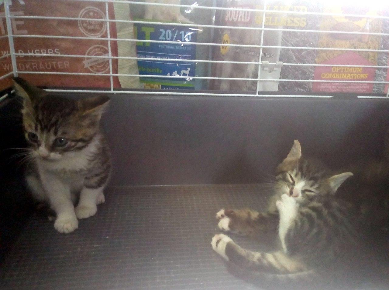 Жители Петербурга! Ищут дом милые котята! Их приютили в зоомагазине, но долго держать не смогут!