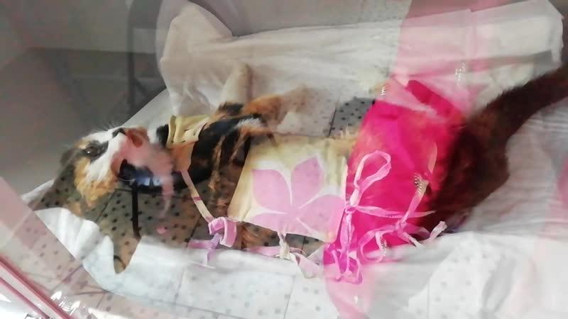 Отёк лёгких у кошечки Милы после стерила