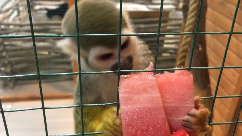 Наша Чичи очень любит арбуз