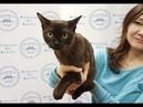 Презентация бурманской кошки PCA ANGELIKA