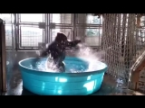 Танцующую гориллу вам в ленту