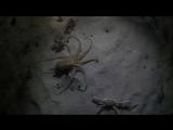 Красный осьминог против синего краба