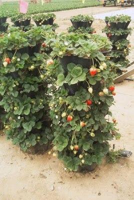 клубника выращивание и уход на урале в теплице