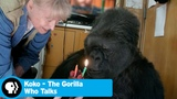 KOKO - THE GORILLA WHO TALKS Did you know there's a talking gorilla PBS