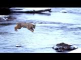 Рысь прыгает через речку