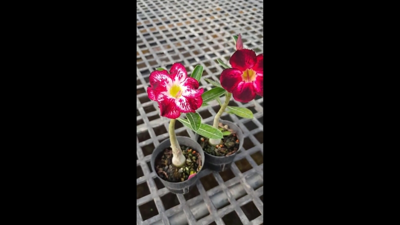 Цветение сеянцев из семян LEO BMA питомник Brahma Garden