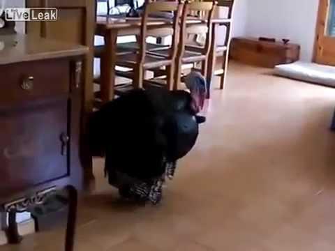 Pavo demuestra su talento para bailar flamenco