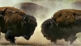 Male Bisons Fight for Harem Rights BBC Earth