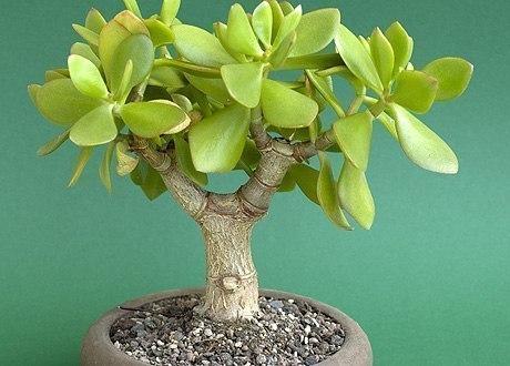 Какие комнатные растения приносят материальное благополучие Поверья и приметы
