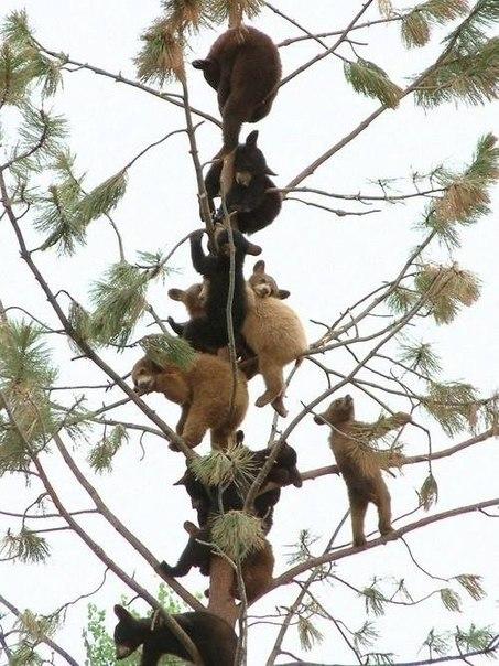 Мишки на дереве.