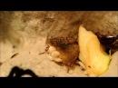 Nauphoeta cinerea birth. Мраморные тараканы рождение