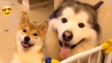shibe finds husky fren (very coot)