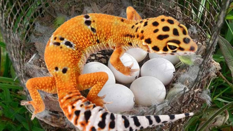 Leopard Gecko laying egg sweet moment- Cute baby Gecko hatching