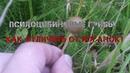 Псилоцибиновые грибы как отличить от поганок