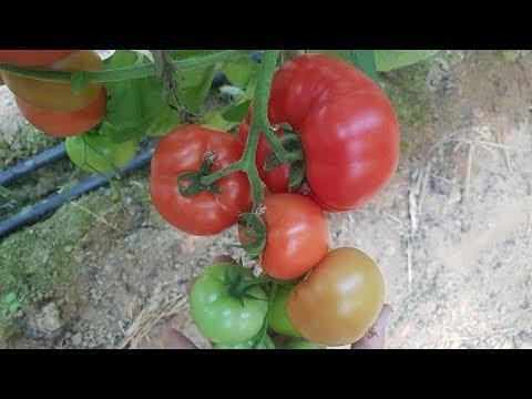 Высокоурожайные томаты SVR 7198 F1, SVR 7858 F1, SVR 8159 F1 (27-05-2018)