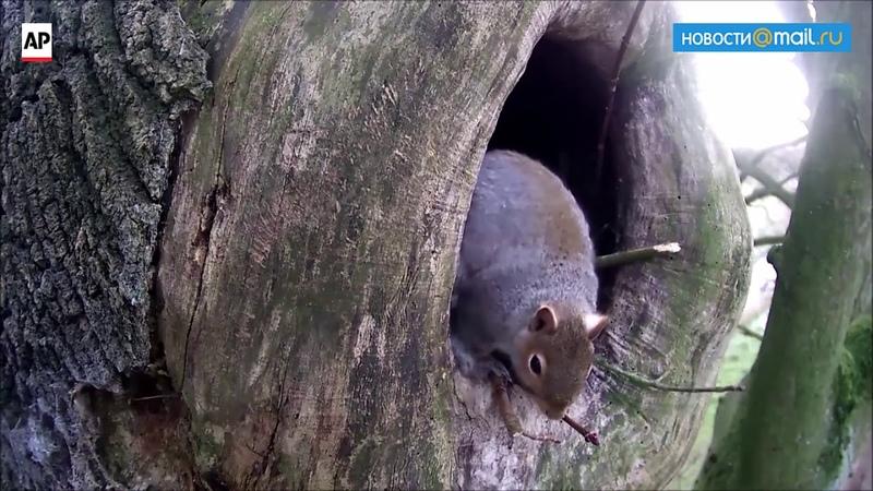 Squirrel expels an owl Белка выгоняет сову