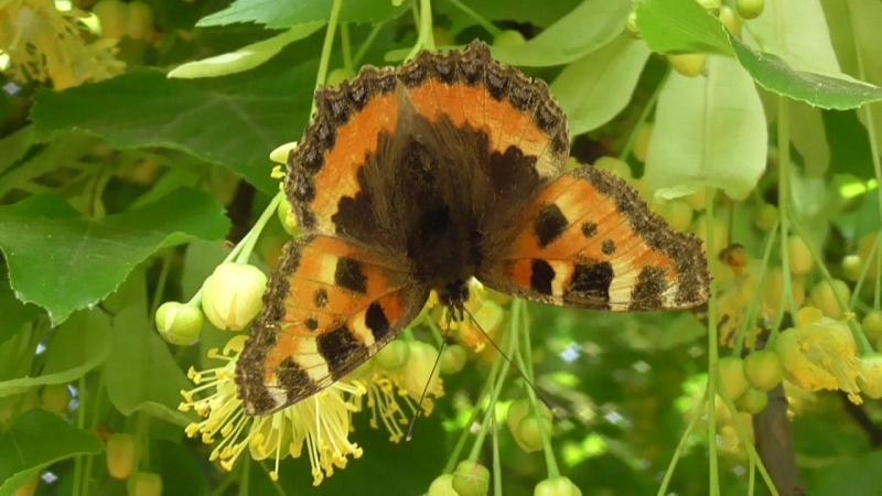 Ещё одна бабочка на липе