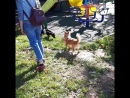 Собачьи любовные игры