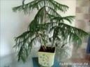 Ольга Васильевна рассказывает про своё хвойное домашнее растение араукарию