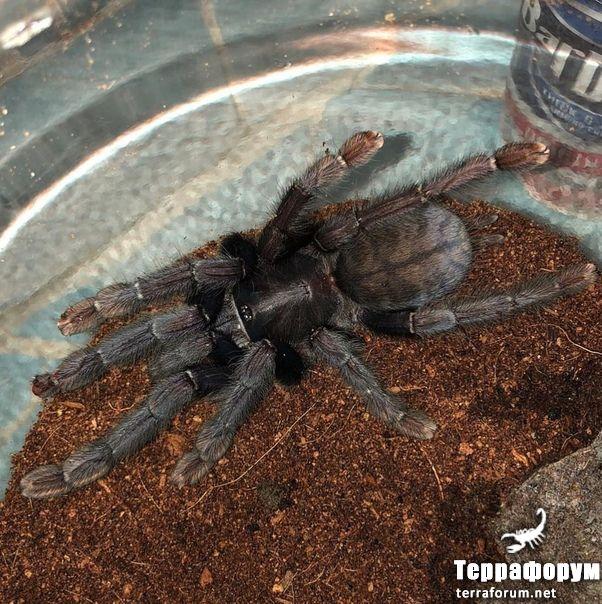 Lampropelma sp Borneo black