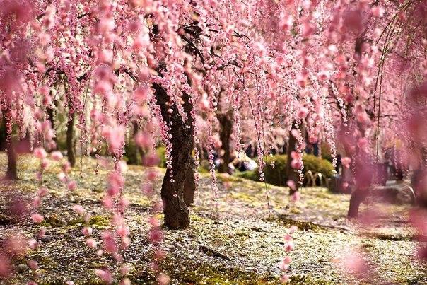 Лучшие фотографии цветения сакуры 2014 года