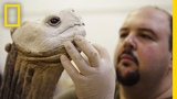 Life After Death Extinct Animals Immortalized With Taxidermy National Geographic