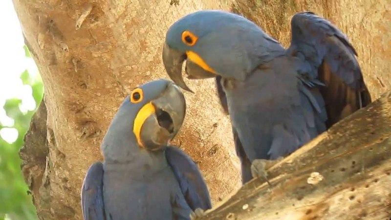 Hyacinth Macaw - Anodorhynchus hyacinthinus - Pantanal, Brazil