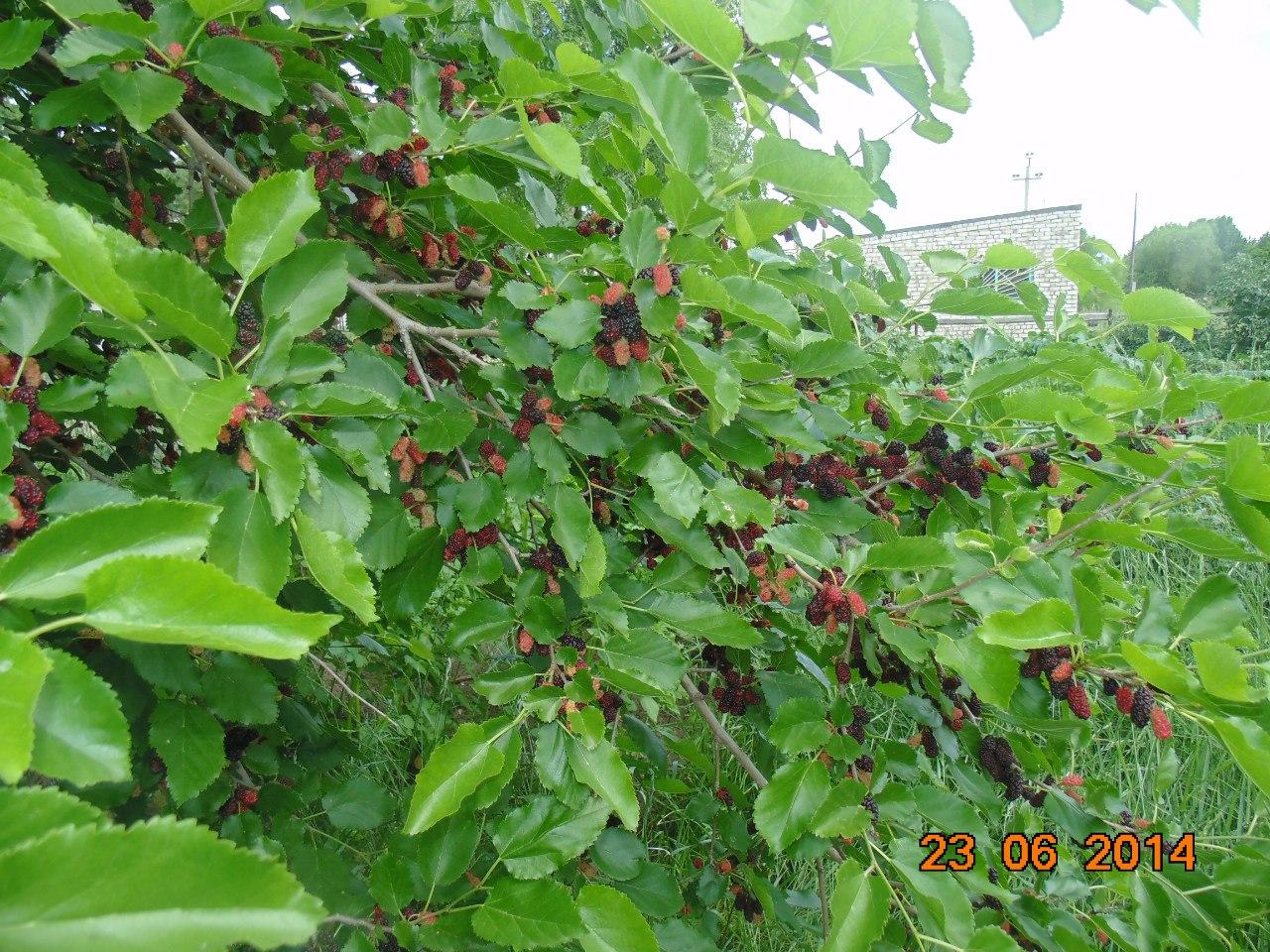 Шелковица выращивание и уход на алтае 87