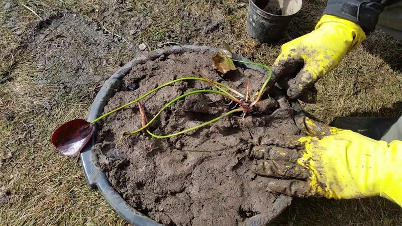 Посадка нимфеи, кувшинки. Как правильно посадить нимфею!