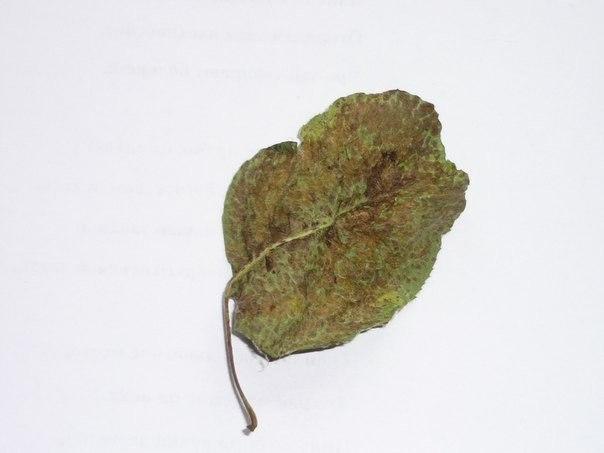 🍃🌺🍃🔸❓🔸🍃🌺🍃 Подскажите, пожалуйста, что за болезнь одолела листья груши (сама я не смогла определить заболевание) и как с ней бороться? Вопрос задала Елена Заливина 🍃🌺🍃🔸❓🔸🍃🌺🍃