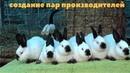 Инбридинг / Близкородственное скрещивание в кролиководстве