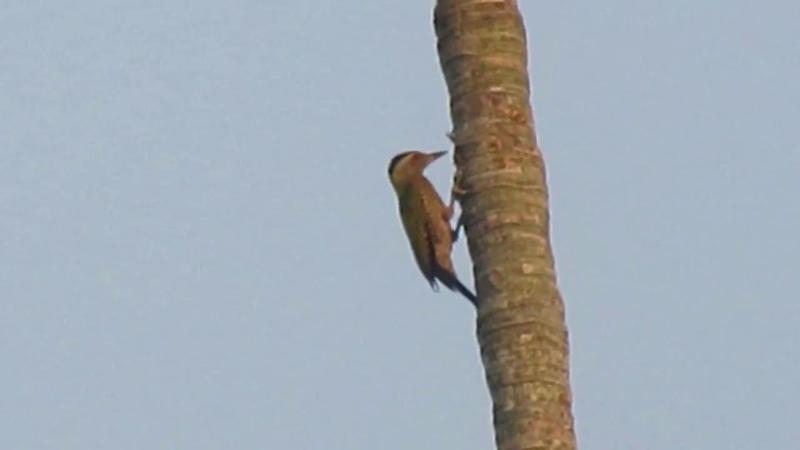 Woodpecker Bird VS Betel Nut Tree | Woodpecker Making Nest on Trees