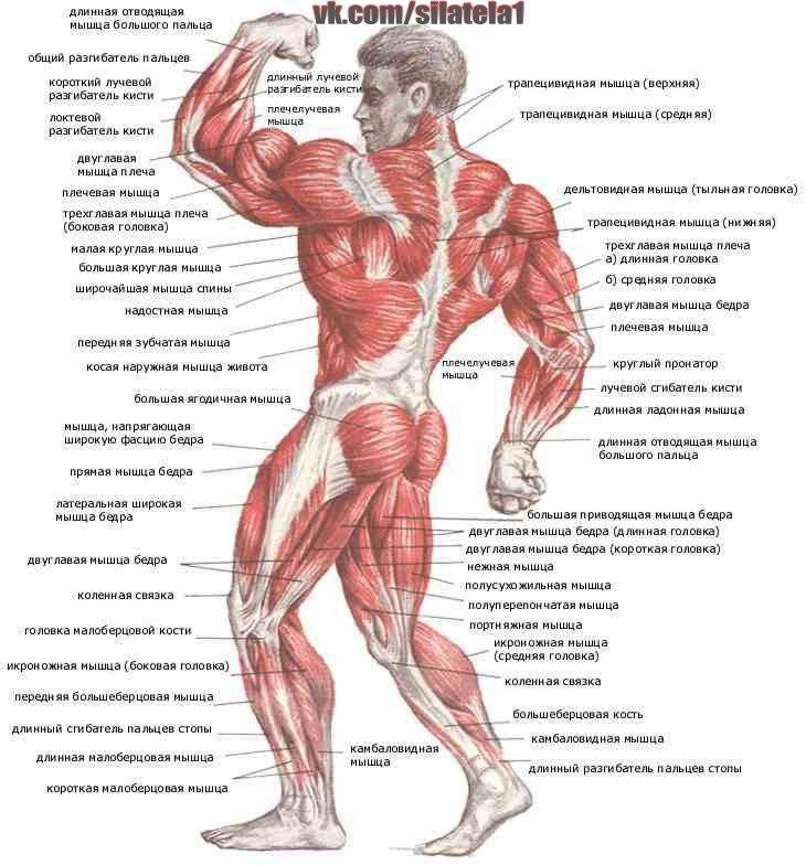 8. Мышцы