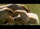 Bobak marmot / Сурок-байбак, или степной сурок / Marmota bobak