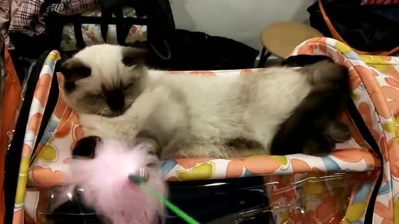 Питомник шотландских кошек г. Казань Мелоди Соул