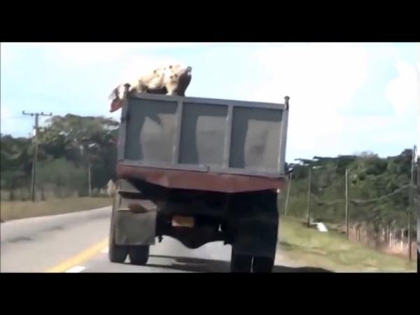 Свинья выпрыгнула из грузовика на ходу