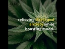 Medicinal cannabis strains to help with anxiety