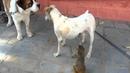 Funny cute monkey annoying his dog friends