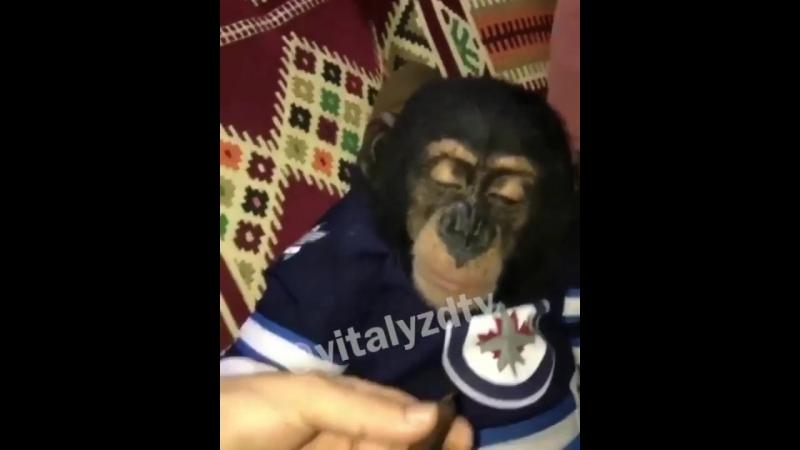 Шимпанзе курит Bong)